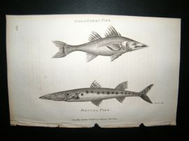 Shaw C1810 Antique Fish Print. Gold-Green & Becuna Pike